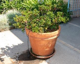 LARGE Potted Plants