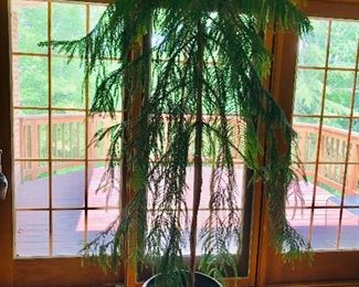 $75 Very large indoor plant