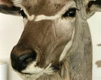 World Class legal -  Large South African Kudu