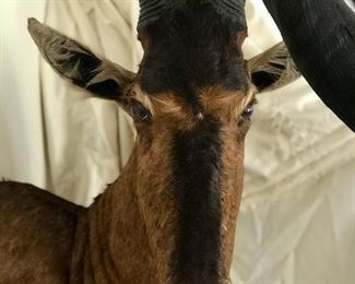 Premium Taxidermy Red Hartebeest - South Africa