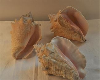 Conch shells, large various conditions, $20-12 each