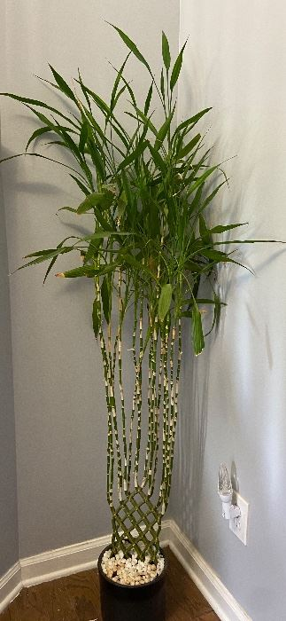 Huge Real Lucky Bamboo
