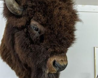 Trophy Buffalo Shoulder mount Will pre sell asking $1,250.00 Call 651-408-4721