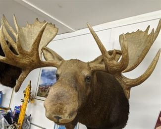 Moosehead Shoulder Mount Will pre sell asking $2,000.00 Call 651-408-4721