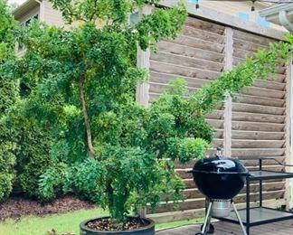 Ornamental Tree in Planter