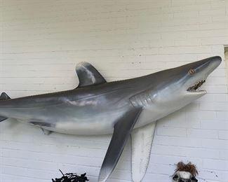 8' mounted shark (from Panama 1970s)