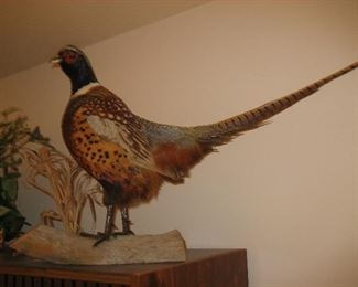 Pheasant taxidermy