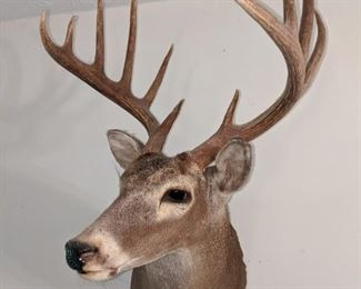 12 pt whitetail deer mount