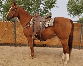 "Lot # 31	  ""Dolly"" 1050 lb Sorrel Grade Mare- See Video! ""Dolly"" 1050 lb Sorrel Grade Mare. She is 14.3 HH. She is 15 + years old. She does her job every year in camp and works great on the trail. She is not cinchy and takes her bridle nice. She has never taken a bad step. She jumps right in the stock trailer when its time to haul. Easy to shoe."