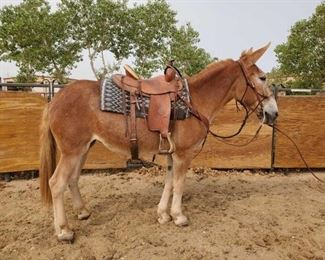 "Lot # 35	  ""Maggie"" 1300 lb Sorrel Draft Jenny- See Video! ""Maggie"" 1300 lb Sorrel Draft Jenny. She is 15.1 HH. She is 18 + years old. She rides and drives. All the kids loved her at camp and goes down the trail great. She has never taken a bad step. She likes to follow another horse down the trail too. She loads right up in the stock trailer. She is not cinchy and takes her bridle nice.  She is easy to shoe."