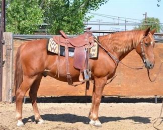 "26	  ""Rascal"". 1000 lb Sorrel Grade Gelding- See Video! ""Rascal"". 1000 lb Sorrel Grade Gelding. He is 14.3 HH. He is 15+ in age. He rides great on the trail. He has worked every summer in the camps and would go on event rides. He has never taken a bad step. He has a small chipmunk pocket in the side of his mouth that needs to be cleaned out of hay occasionally. He is not cinchy and takes his bridle nice.. He is easy to shoe."