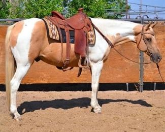 "32	  ""Biscuit"" 1050 lb Tobiano Palomino Paint Grade Gelding- See Video! ""Biscuit"" 1050 lb Tobiano Palomino Paint Grade Gelding. He is 14.2 HH. He is always used in camp and on some event rides. He is 15+ years old. He has never taken a bad step. He has front pasterns that are somewhat thick, but this has never affected his performance. Don't count him out for all medium duty jobs..  He is not cinchy and takes his bridle very nice. Ready to jump in the stock trailer at any time. He is a perfect follower on the trail. He is easy to shoe"