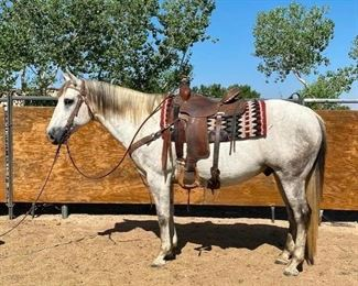 "22	  ""Smokey"" 1200 lb Gray Grade Gelding- See Video! ""Smokey"" 1200 lb Gray Grade Gelding. He is 14.3 HH He is 13 + in age. He is a very polite gelding to be around. Very respectful of your space. He is not cinchy and takes his bridle very nice. Has been ridden on the ranches, special trail ride events and used every summer in camp. He has never taken a bad step. He is a great wrangler horse. He will load right up in any stock trailer. He is easy to shoe."