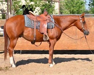 "#6 • ""Rio"" 1100 lb Sorrel Grade Gelding- See Video! ""Rio"" 1100 lb Sorrel Grade Gelding.  He is 14.3 HH. He is 12+ years old.  He is as cute as a bug.  He loads up in the stock trailer.  He has never taken a bad step. He takes his bridle nice and is not cinchy.  He has been used at the ranch in Parkfield and at the home ranch.  He is in camp every summer with no problems."