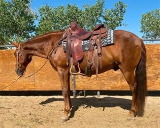 "24	  ""Skippy"" 1100 lb Chestnut Grade Gelding- See Video! ""Skippy"" 1100 lb Chestnut Grade Gelding. He is 15 HH. He is 15+ in years. Ready to saddle up at ride just out of the pen. Always takes his bridle very nice. Always careful where ever he goes.  Very respectful of your space. Easy to be around. Never taken a bad step. He is a fast walker and ready to go. He is not cinchy and bridles nice. Ready at anytime to load up into the stock trailer. Easy to shoe. Has a scar on a front pastern, but has never affected his performance."