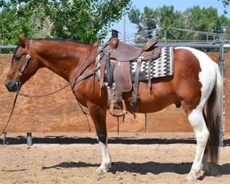 "Lot # 18 - ""Gumby"" 1100 lb Tobiano Paint Grade Gelding. He is 14.1 HH. He is 15+ in years. He was a wranglers go to horse every summer.  Used at the ranch on all the event rides. A very cute gelding with plenty of go. He is not cinchy and bridles nice. Always ready to ride. Never taken a bad step. Ready to jump in any stock trailer. Easy to shoe."