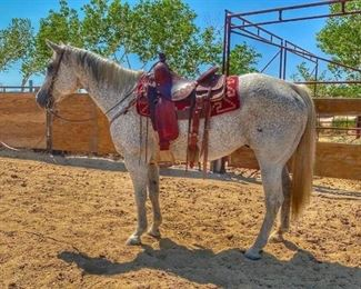 "33	  ""Blue"" 1050 lb Flea Bitten Gray Grade Gelding ""Blu"" 1050 lb Flea Bitten Gray Grade Gelding. Blu is 15.1 HH.  He has been ridden at the ranch, rode on the trail and done a little team sorting.  He is 15+ in years and seen a lot of country.   He is not cinchy and bridles nice. Easy to shoe.  Has never taken a bad step.  ****Video coming soon*****"