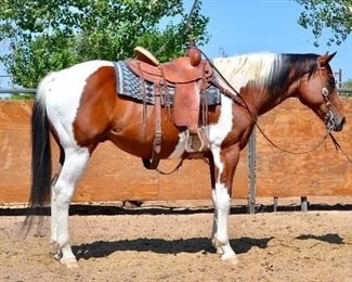 "30	  ""Mr. Spot"" 1250 lb Bay Tobiano Grade Gelding- See Video! ""Mr. Spot"" 1250 lb Bay Tobiano Grade Gelding. He is 15.3 HH. Spot is 16+ in years. He takes kids and big enough to give counselors comfortable rides every year and never has a problem. Is used on the ranch for dignitaries on special rides too. Big with lots of color! He is not cinchy and bridles very nice. Easy to shoe. A horse that can only be used on light to medium riding."