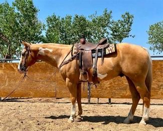 "Lot # 15 ""Ziggy"" is an 1100 lb Overo Palomino Paint Grade Gelding. He is 15.1 HH. He is 15+ in years and quite the stylish horse. He will climb any mountain and always used in all the lines at camp. Nice to work around and easy to catch. He has never taken a bad step and always ready to saddle up and ride at any time. He is not cinchy and bridles nice. Will jump into any stock trailer when your ready to ride. Easy to shoe."