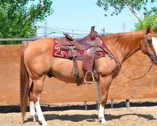 "29	  ""Dunny"" 1250 lb Line Back Dun Grade Gelding- See Video! ""Dunny"" 1250 lb Line Back Dun Grade Gelding. He is 15 HH. Dunny is 16+ in years and needs some maintenance and light to medium riding. Has been always requested in every camp he has ever been used in. He is easy to catch an an easy keeper too. Ready to jump right into any stock trailer. He is not cinchy and bridles nice. Easy to shoe."