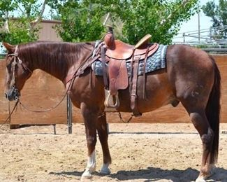 "Lot 20: ""Sir Lancelot"" 1100 lb Chestnut Grade Gelding. He is 15.3 HH. He is 15+ years old. You can just saddle up, he will jump into any stock trailer and give you a great ride at the drop of a hat. He is not cinchy and bridles nice. He has been ranched off of and used in the camps every year. He will walk out. He has never taken a bad step and easy to shoe."