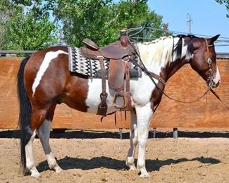 "Lot # 13 ""Puzzles"" 1100 lb Bay Paint Grade Gelding- See Video! ""Puzzles"" 1100 lb Bay Paint Grade Gelding. Hes is 15.1 HH.  He is a trail horse and loves to be in your pocket. He is 14+ years old.  He willing jumps into any stock trailer and hauls great. He has never taken a bad step and is ready to ride anywhere. Easy to shoe. He is not cinchy and bridles nice. Puzzles has to wear a cribbing collar"