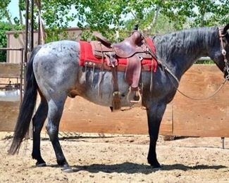 "Lot # 12: ""Roanie"" 1350 lb Blue Roan Grade Gelding.  He is 16 HH.  He is 14+ yeas old.  He is a gentle giant and goes to work every summer.  He is a nice big horse that has never taken a bad step. He has been pasture roped off of..  He is not cinchy and bridles nice.  Grows a nice big mane and tail.  He will load into any stock trailer  with no problems.  Ready to saddle and ride. He is easy to shoe."
