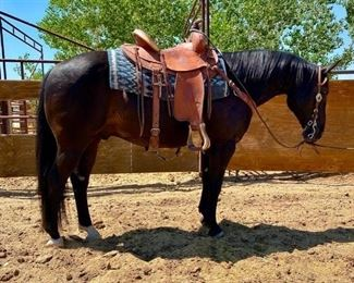 "Lot # 9 ""Scooter"" aka Edward 1150 lb Black Grade Gelding- See Video!This gelding has been ridden at the ranch and used in the camps. He is 14.1 HH.  He is 8+ years old. He is a nice black horse. Has a kind eye and always in your pocket. He is not cinchy and takes his bridle nice. Sound, round and ready to ride when you are. He is a trail horse. Will load in any stock trailer. Easy to shoe."