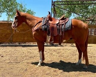"27	  ""Zip"" 1100 lb Grade Sorrel Overo Paint Gelding- See Video! ""Zip"" 1100 lb Grade Sorrel Overo Paint Gelding. He is 16+ years old. Zip is 14.3 1/2 HH. Zip has always been a great go to horse.  You can just pull him out of the pen and saddle him up for a great ride. You can put anybody on him and he gives them a great ride.  Used on the ranch and in the camps. He is very respectful of your space when you work around him. He has never taken a bad step.  He is not cinchy and bridles nice. Loads right up in the stock trailer with ease. Easy to shoe."