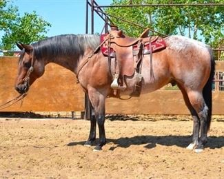 "Lot # 8 Big Jake ""Big Jake"" 1350 lb Bay Roan Gelding.  He is 15+ years.  He is 16 HH. Started as a ranch and pasture rope horse. He is a gentle giant.  He always takes his bridle very nice. Used in the camps and on the ranch. Gentle for everybody. Will load in any stock trailer. Open and closes gates. Goes down the trail or has been used in different events. He has never taken a bad step. A big horse that makes you take a look at him. Easy to shoe."