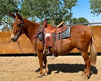 "Lot 21: ""Twinkie"" Sorrel Molly Mule. 14.1 HH. She is 15+ years. She rides and drives single or double. She bridles and saddles with no problems. This mule is a pleasure and easy to ride on the trail. She has been used at the Mission Inn to pull a wagon. The kids in camp just loved her. She will just come right up to you and is easy to catch. Will jump into any stock trailer. She is not cinchy and bridles nice and easy to shoe."