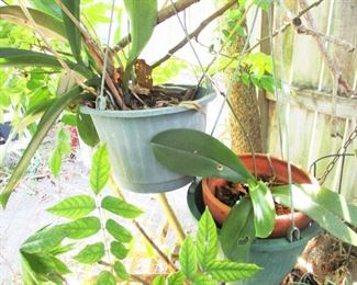 Rescue Orchids   (Cattlyas)