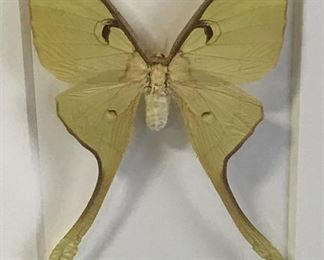 CHRISTOPHER MARLEY Pheromone Moon Moth Artwork