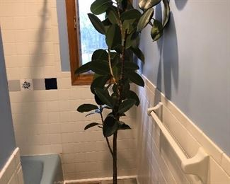 #58) $15  - Rubber Tree