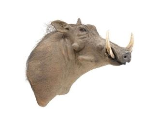large warthog taxidermy wall mount