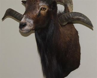 """Taxidermy Mounted Rams Head (24""""H x 19""""D x 10""""Breast:  Tip of Horn to Tip of Horn 25"""")"""