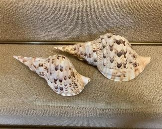 """$25 Set of two conch shells large.  Left: 10"""" L, 4"""" W, 3"""" H.    Right: 12"""" L, 5"""" W, 4.25"""" H."""