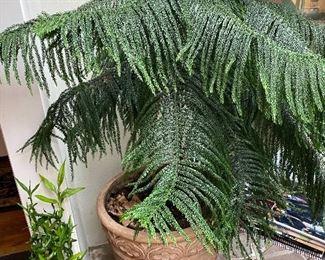 Lolt 96: $60- Norfolk Island Pine