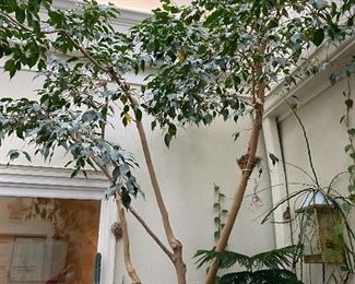 """Lot 95: $250- Live Ficus tree in large cement pot. Approx. 12' H, 40 years old. The """"Daughter"""" of the 46 year old tree also for sale."""
