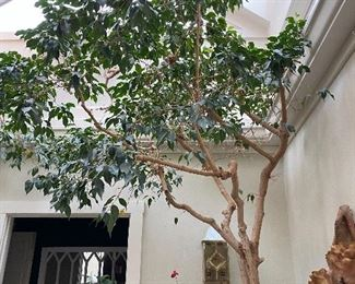 Live Ficus tree in large cement pot. Approx. 12'H 46 years old.  Items in background are not for sale