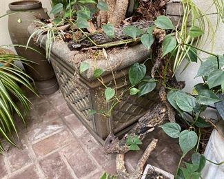Detail of ficus tree pot