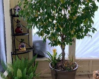 beautiful real Ficus tree