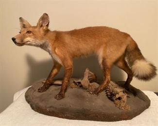 Red Fox Taxidermy