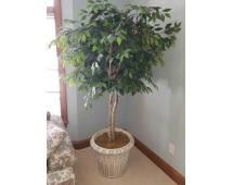 """Huge Artificial Fichus Tree Beautiful Condition Fichus Tree, Pot is 18""""x20"""", tree is 6 ft tall, plastic pot"""