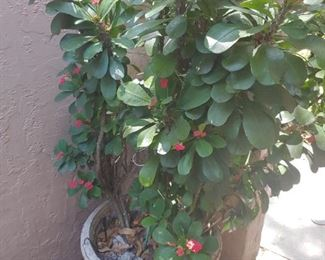 Oversize Crown of Thorns -