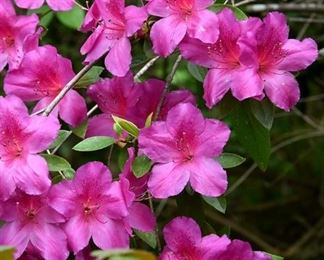 Numerous sizes and colors of azaleas