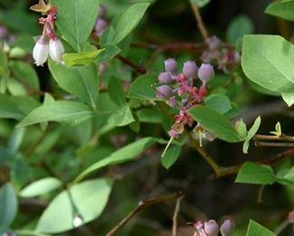 blueberries, blueberry plants