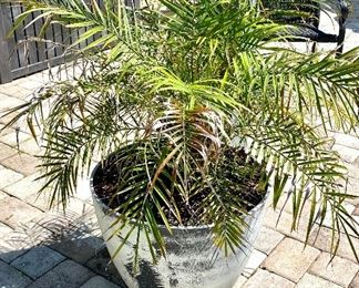 "4-	Pair of Palm trees in plastic pots 	18""H x 20""w x 4'H overall	$150"