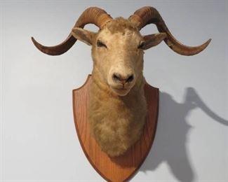 Majestic Rams Head Taxidermy
