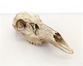 "Authentic 11"" Animal Skull"